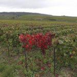 Esca, maladie de la vigne