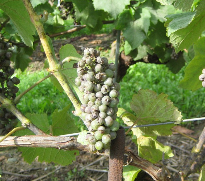 O dium maladie de la vigne - Parasite de la vigne ...