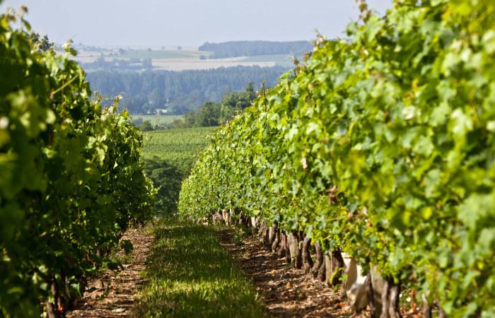 Vignoble du domaine du château Coudray Montpensier