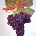 Cépage cabernet franc (Viala et Vermorel)